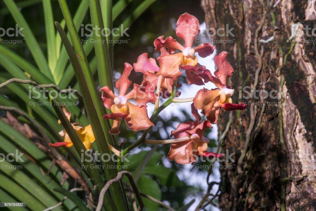 Fragrance Udon Sunshine Orchid stock photo