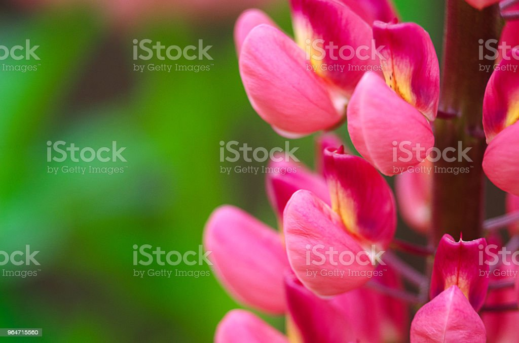 Fragrant flowers of lupine in the fresh royalty-free stock photo