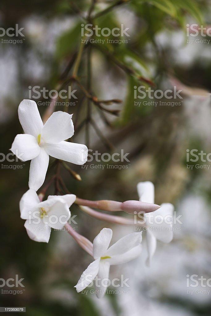 Jazmín aromáticas flores-Jasminum polyanthum foto de stock libre de derechos