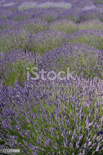 Subject: A Lavender Farm in full bloom