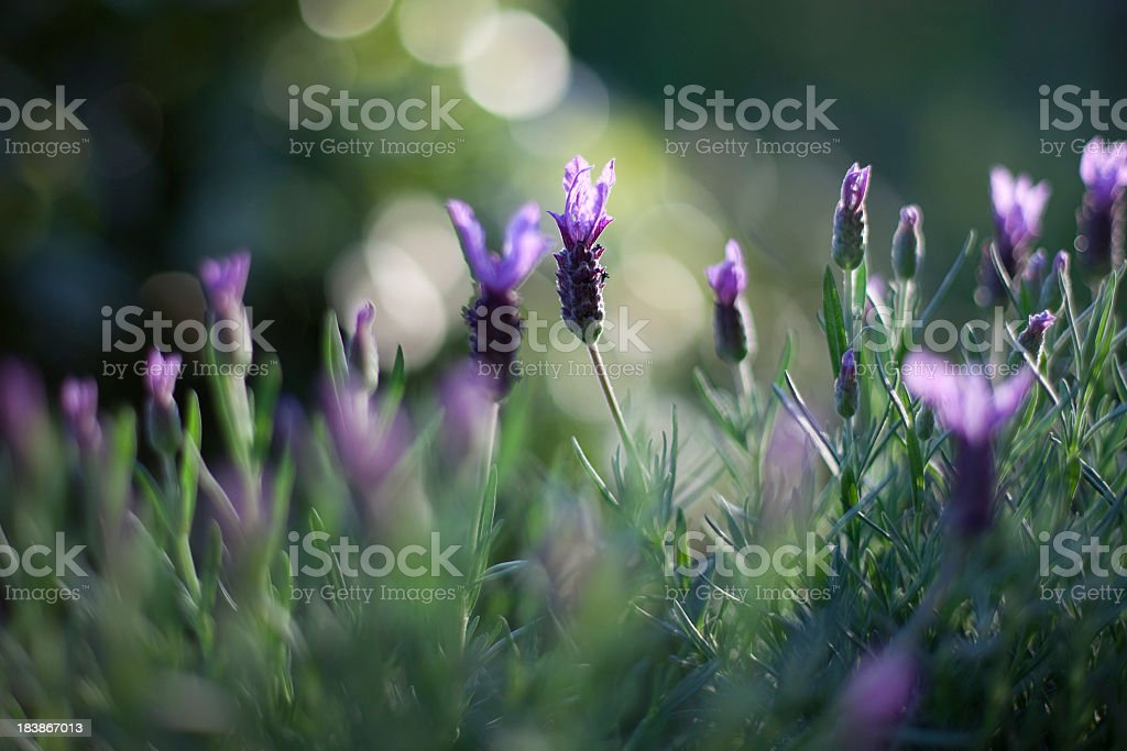 Fragrant Lavender royalty-free stock photo