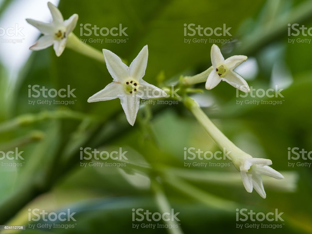 Fragrant Night Jasmine Flower Blooming Stock Photo More Pictures