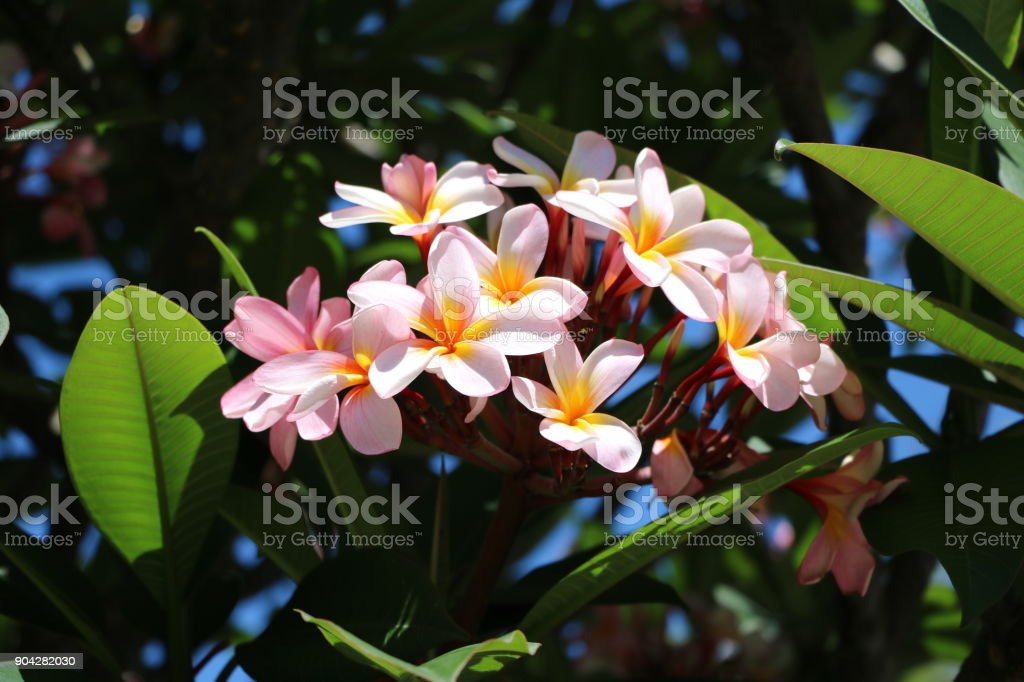 Fragrant Plumeria flowers in Sydney, New South Wales Australia stock photo