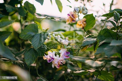 Fragrant Vigna Caracalla & Snail Flower & Corkscrew Vine
