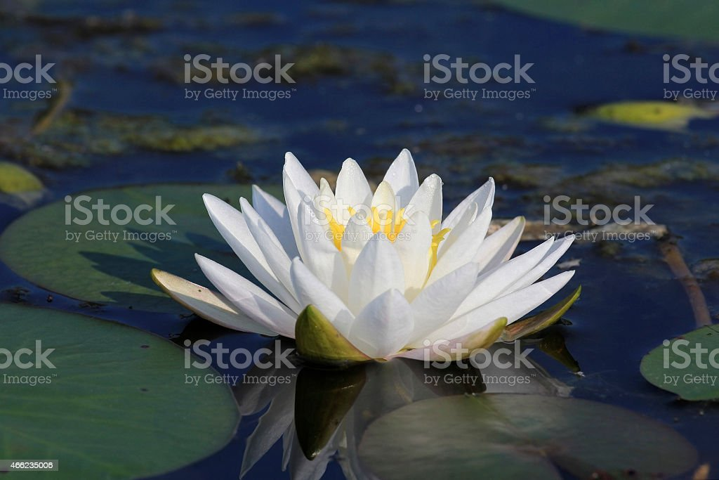 Fragrant Water Lily Blooming on a Lake stock photo