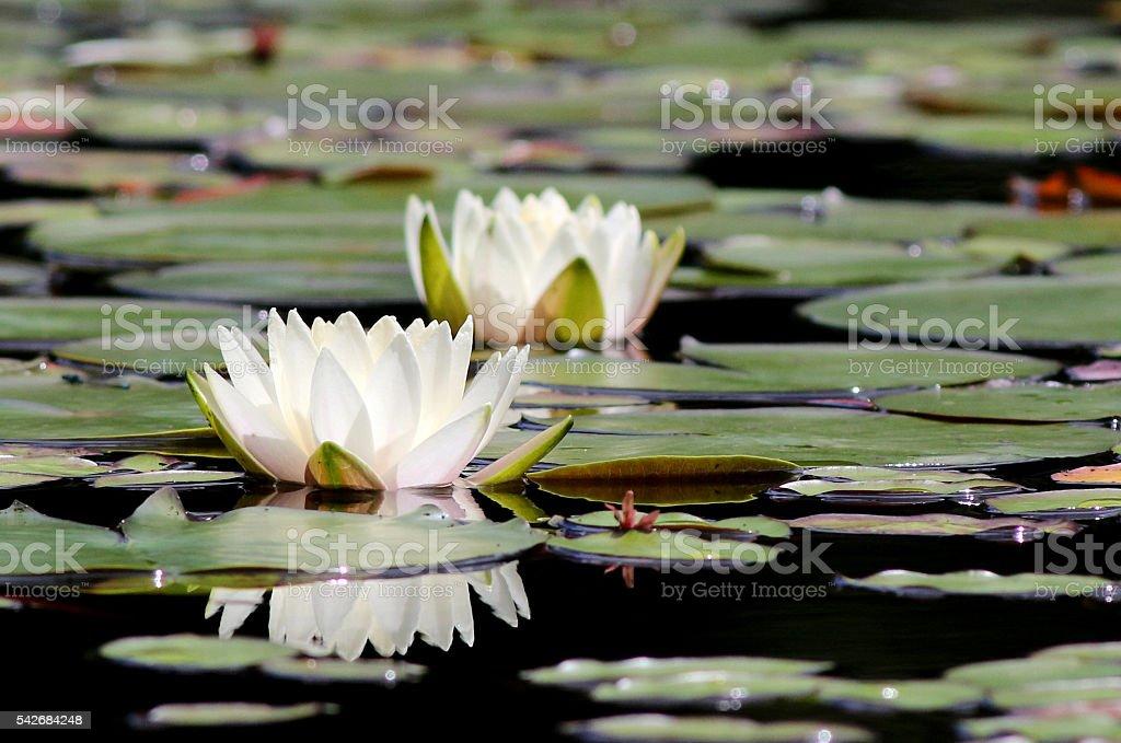 Fragrant Water Lily - Nymphaea odorata stock photo