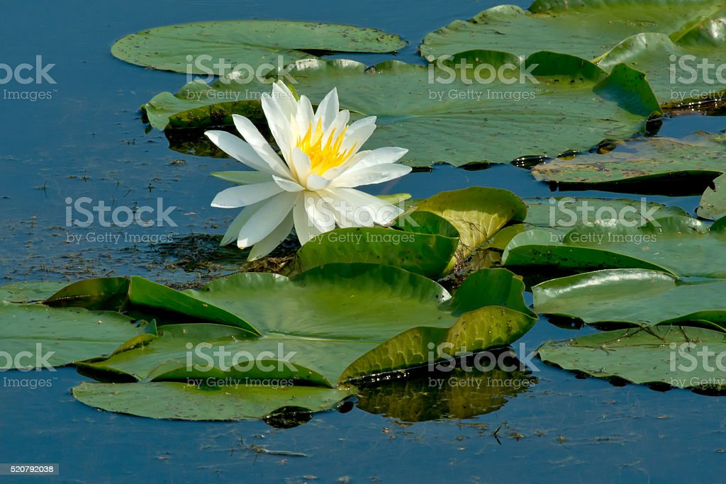 Fragrant Water Lily stock photo