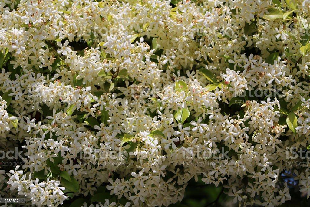 Fragrant white flowers of jasmine under blue sky, Italy foto royalty-free