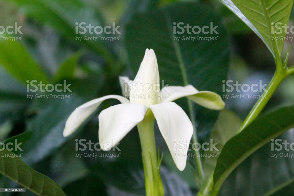 Fragrant White Gardenia flower
