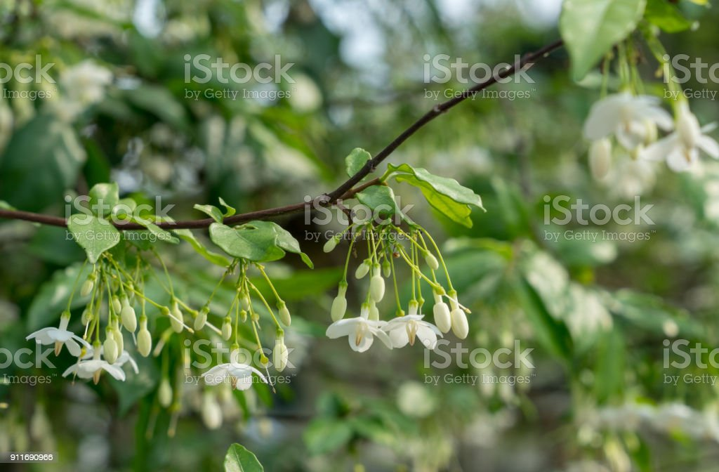 Fragrant Wild water plum flowers with soft focus background (Wrightia religiosa Benth) stock photo