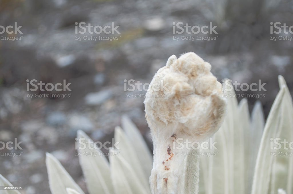 Frailejon plant stock photo