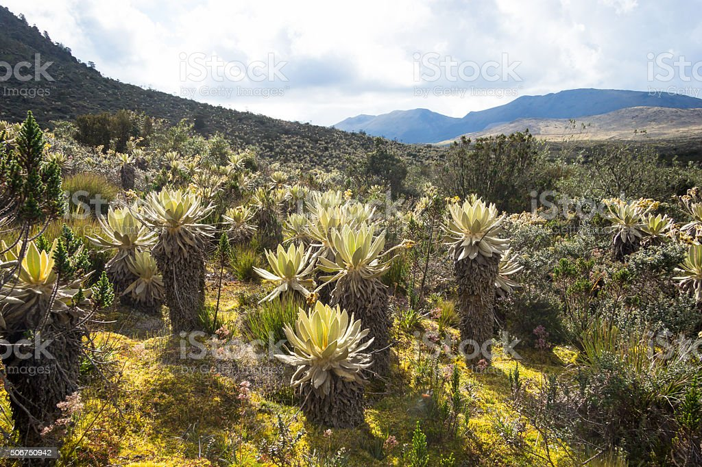 Frailejon plants at paramo stock photo