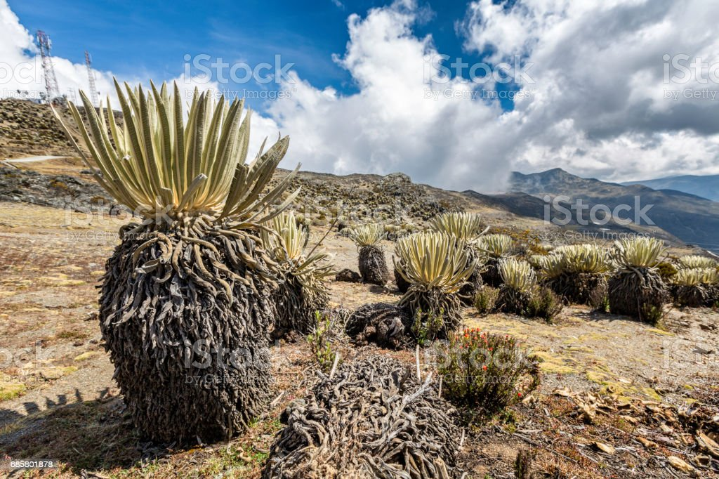 Frailejon plants at Pico El Aguila, Merida State, Venezuela stock photo