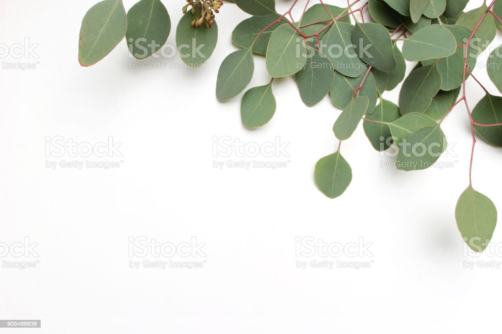 Frame, border made of green Silver dollar Eucalyptus cinerea leaves and branches on white background. Floral composition. Feminine styled stock flat lay image, top view. Copy space stock photo