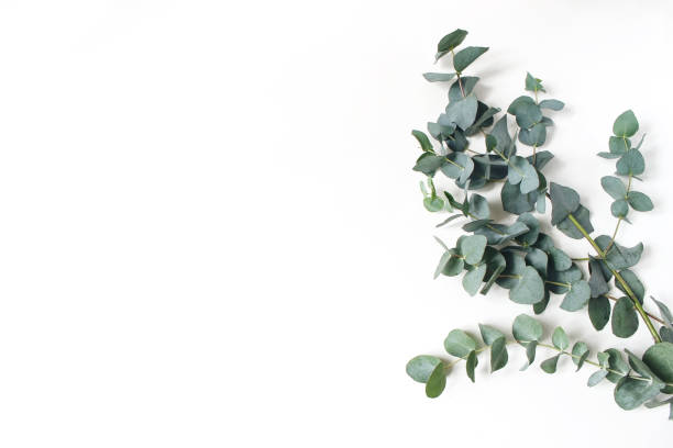 Frame, corner made of green Eucalyptus leaves and branches on white background. Floral composition. Feminine styled stock flat lay image, top view. Copy space. stock photo