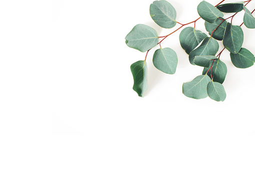 Frame, corner made of green Eucalyptus populus leaves and branches on white background. Floral composition. Feminine styled stock flat lay image, top view. Copy space.