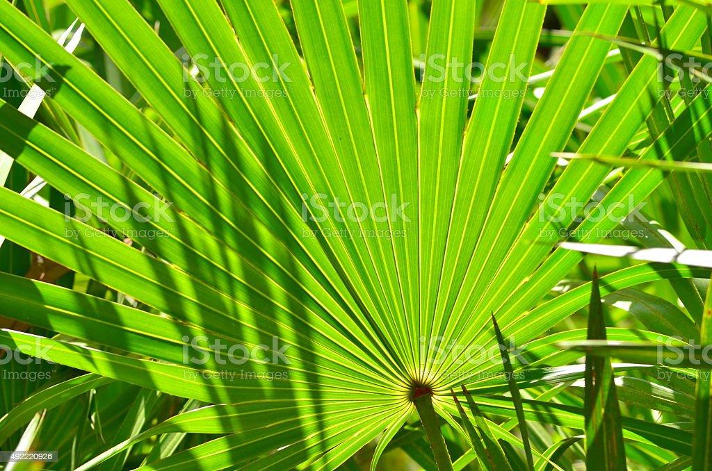 Frame filling shot of backlit palm frond stock photo