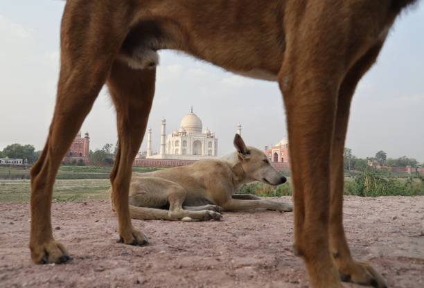 Frame into frame of Taj Mahal Two dogs at the wall of mehtab baag,where you can see back view of Taj Mahal agra jama masjid mosque stock pictures, royalty-free photos & images