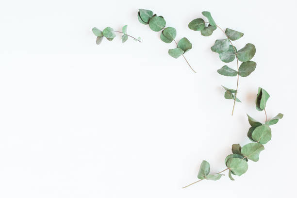 Royalty free flowers white background pictures images and stock frame made of eucalyptus branches flat lay top view stock photo mightylinksfo