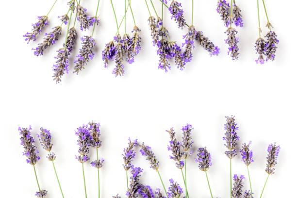 A frame of blooming lavender flowers, shot from above on a white background with copy space stock photo