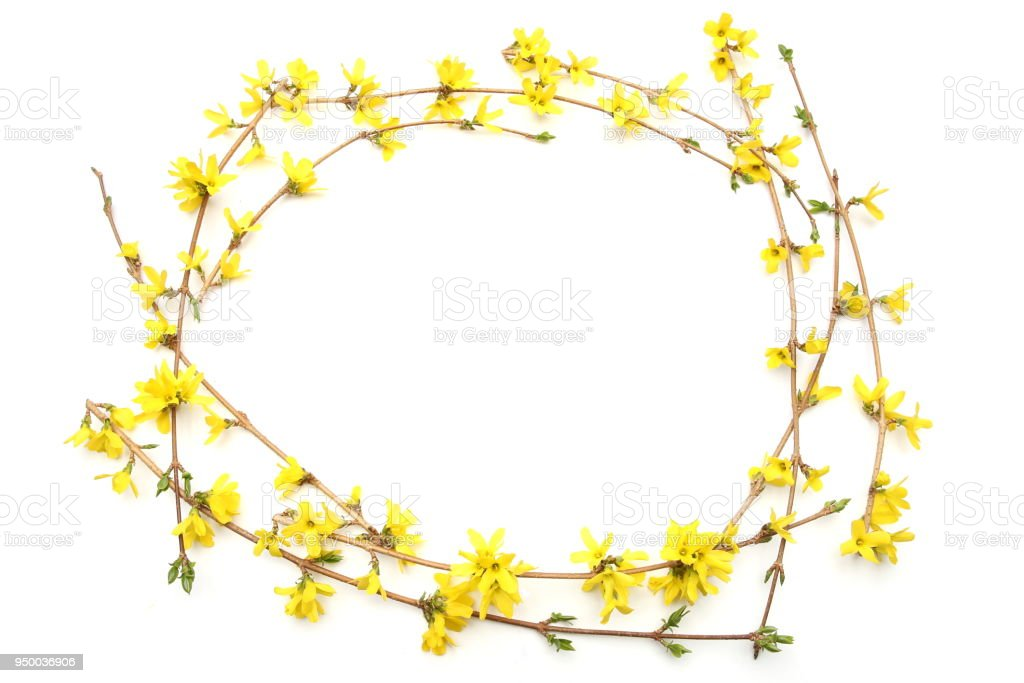 Frame Of Forsythia Branches With Yellow Flowers Isolated On White