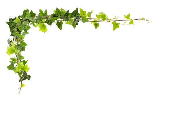 ram av ivy - murgröna bildbanksfoton och bilder