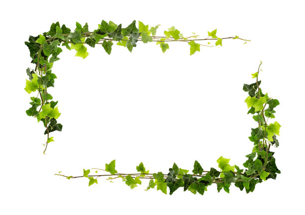 Frame of ivy stock photo