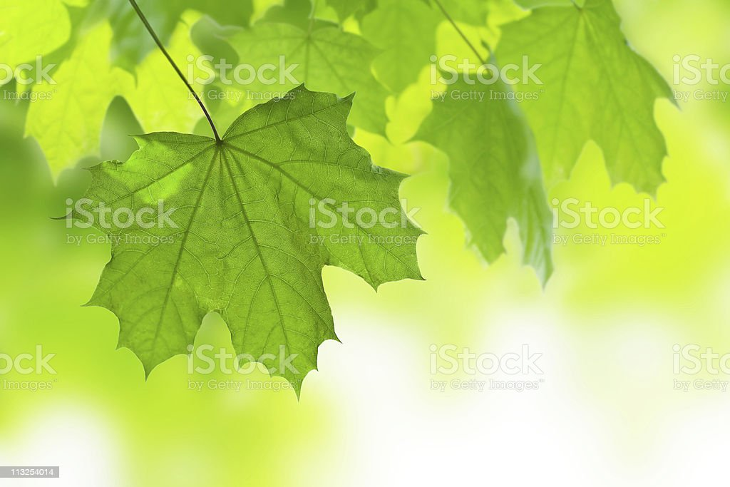 frame of maple leaves royalty-free stock photo