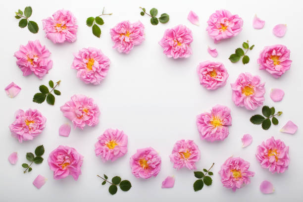 Frame of pink damask roses and green leaves on white background. Flat lay, top view. stock photo