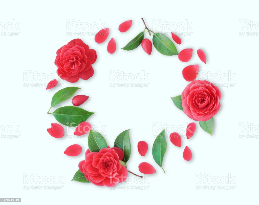Frame of red Camellia flowers, leaves and red petals on white background. Flat lay, top view. Frame of spring flowers. Isoleted.  Camellia brooch, sticker, patch stock photo