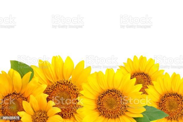 Frame of sunflowers on a white background background with copy space picture id995485878?b=1&k=6&m=995485878&s=612x612&h=y9oeznk1fla 5ma8c1ounznfbm xgmioxtiz3uorizo=