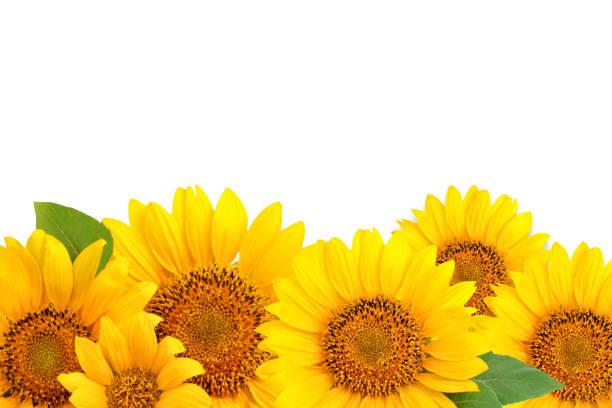 rahmen von sonnenblumen auf einem weißen hintergrund. hintergrund mit textfreiraum - sonnenblume stock-fotos und bilder