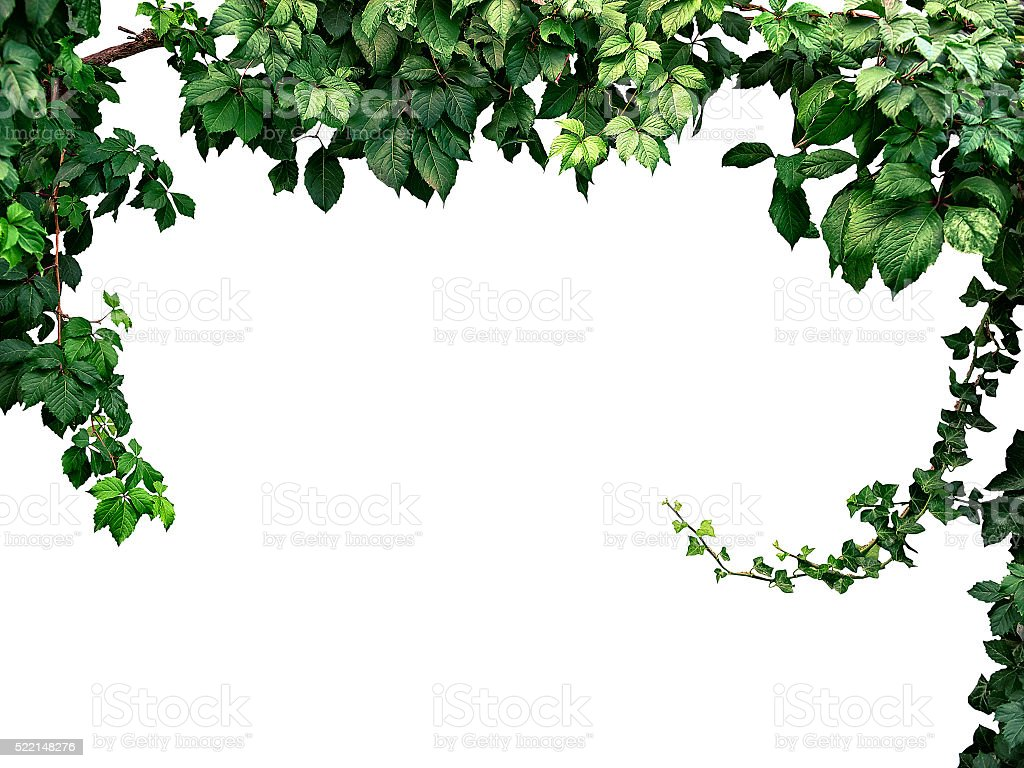 frame of the climbing plant isolated on white background stock photo