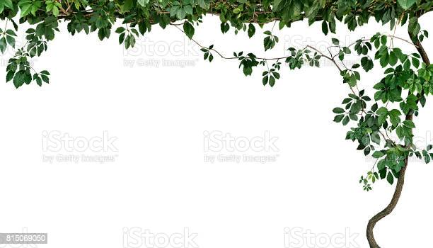 Frame of the climbing plant isolated on white background picture id815069050?b=1&k=6&m=815069050&s=612x612&h=cb5gyzitg4mqtj8h tujybbcvdajtpprce2swxcsbba=