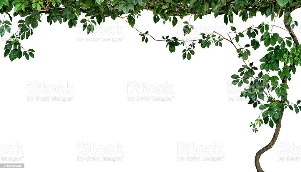 Rahmen der Klettern Pflanze isoliert auf Weißer Hintergrund – Foto