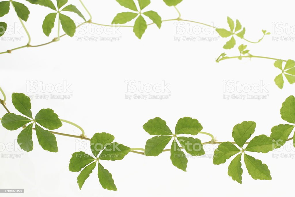 Frame of the ivy royalty-free stock photo