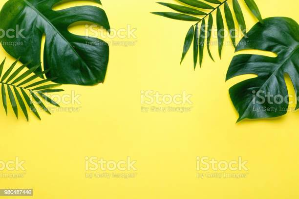 Frame of tropical leaves monstera and palm on yellow background a picture id980487446?b=1&k=6&m=980487446&s=612x612&h=g6ccifinwqbdwnjfs dwjrwy9gqr2ufsmeifrvar52u=