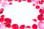 istock Frame Rose petals isolated on white background 519081314