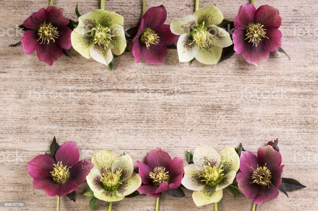 Frame spring flowers lenten rose in a row on light brown rustic background. Copy space stock photo