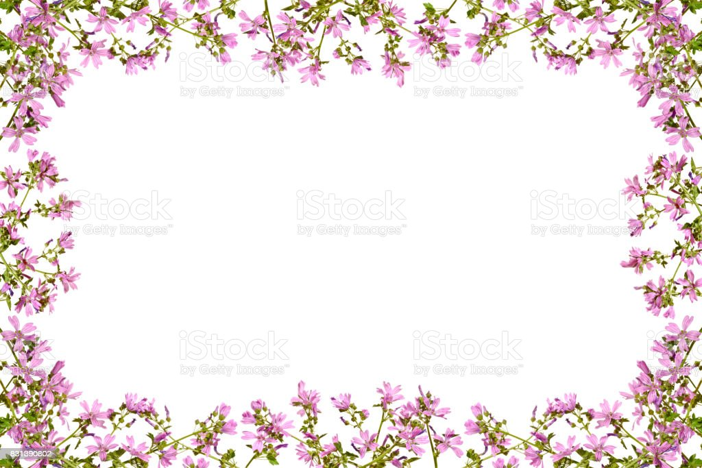 Frame with flowering pink mallow on a white background. stock photo
