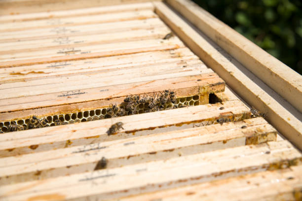 Frame with honey drawn from a beehive. Honeycombs in frame and bees. Choosing honey by beekeeper. – zdjęcie