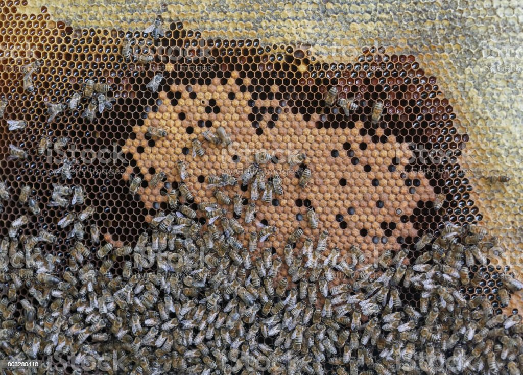 Frame with honeycombs and a lot of creeping bees stock photo