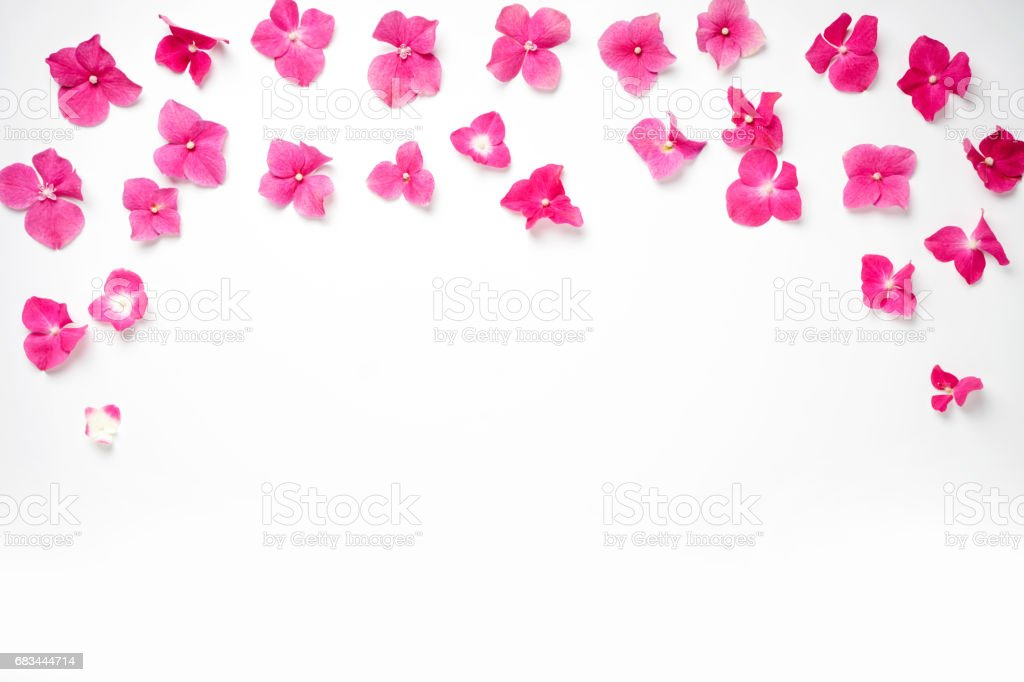 Frame With Hydrangea Flower Isolated On White Background Flat Lay ...