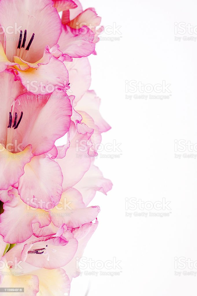 Frame with Pink Gladiolus royalty-free stock photo