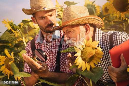 Senior farmer with son checking the sunflower in the field by using a magnifying glass to detect diseases or pests.
