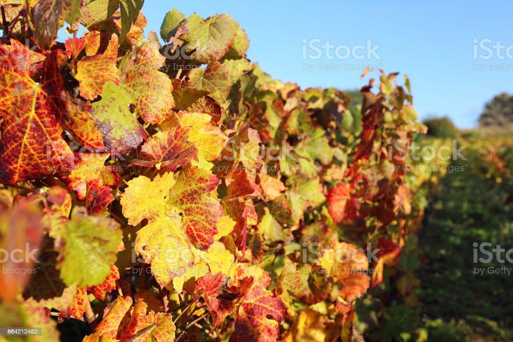 France, autumn vineyard royalty-free stock photo