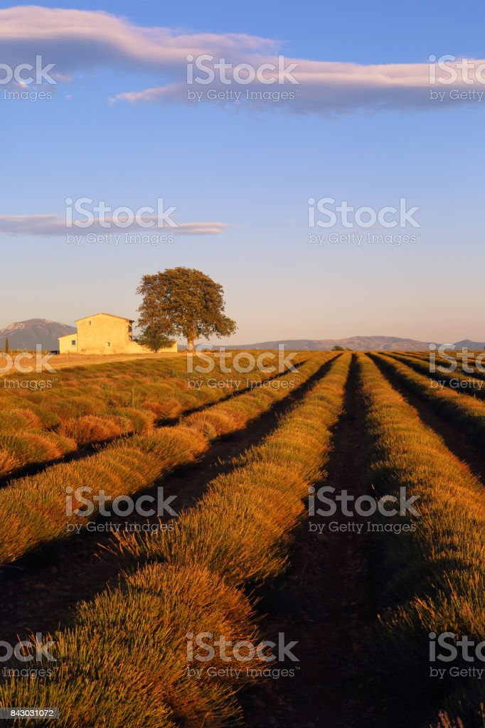 France, evening in Provence, sloping lavender field at sunset stock photo