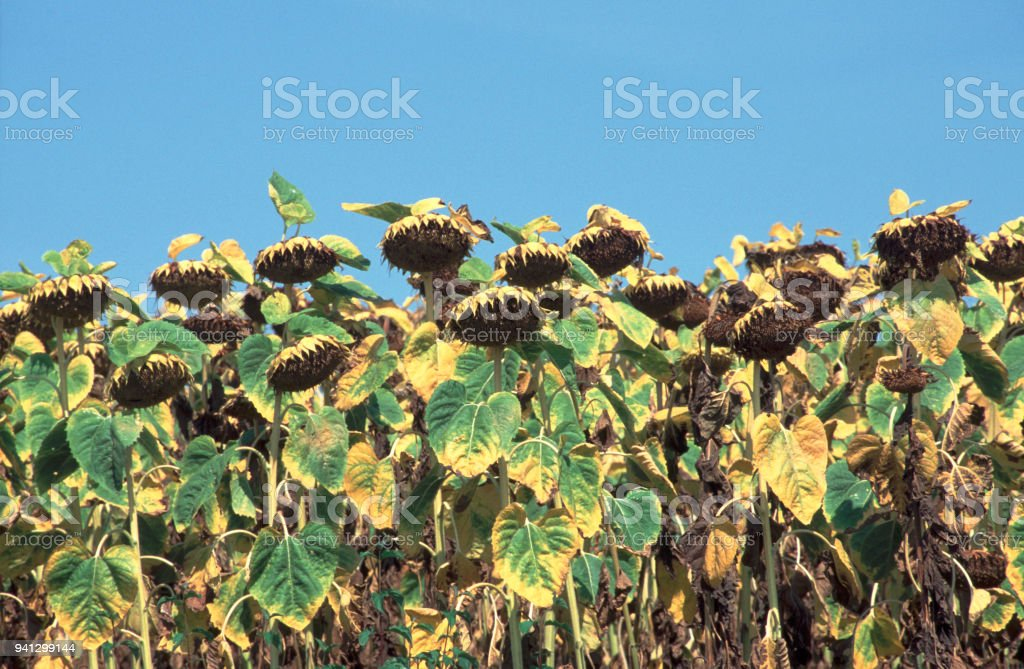 France, Gers, Ripening sunflowers stock photo