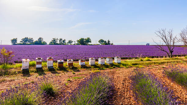 France - Lavender fields and beehives in Valensole stock photo