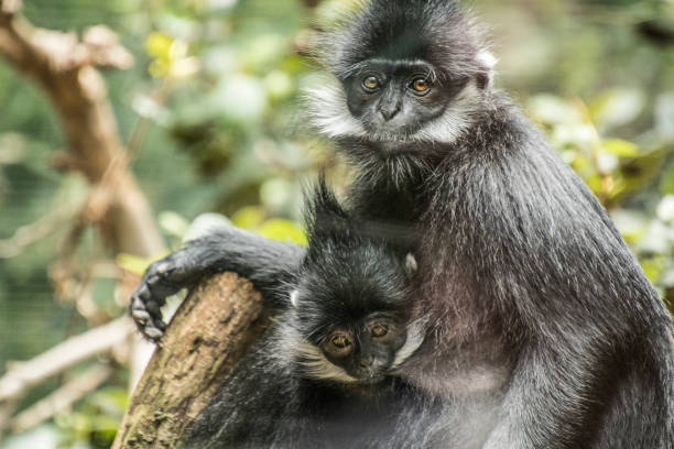 Francois' leaf monkey mother and baby François' langur is a medium-sized primate with black, silky hair. It has very distinct white sideburns that grow down from its ears to the corners of its cheeks. A morphological specialization of François' langur is its complex stomach, made up of four separate chambers. This is a necessary adaptation for the digestion of its folivorous diet. langur stock pictures, royalty-free photos & images